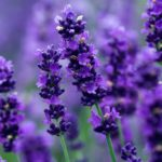 how lavender can help your anxiety